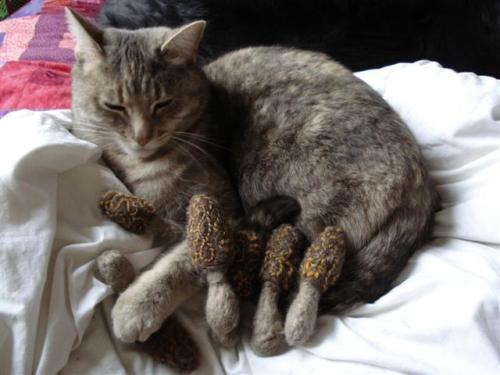 morels-cat-camo-small