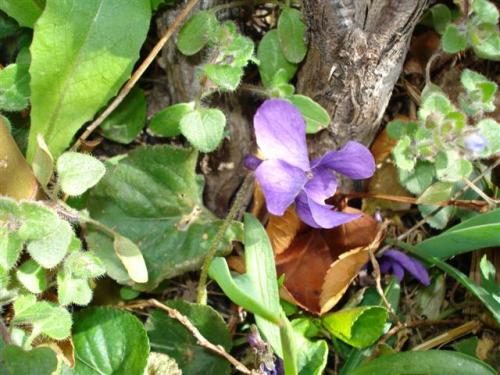 violets-2-small