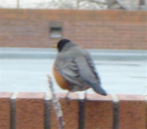 chubby-robin-small