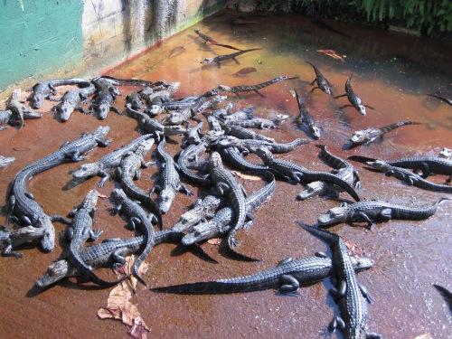 alligator babies