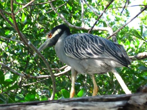 mangrove bird