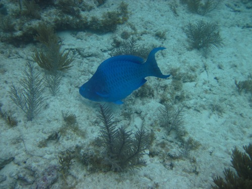 3 blue fish